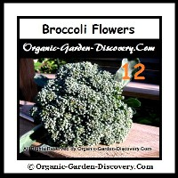 A natural home grown green broccoli without spray