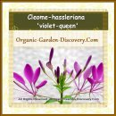 Greenhouse organic grown Spider flowers in purplish pink colour