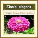 Zinnia-elegans open widely in medium pink
