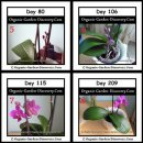 Indoor organic gardening orchid plant from day 80 to day 209.