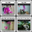 The 3rd new orchid shoot appear on the day 678.
