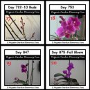 More than 2 years old purple orchid plant is in her full bloom on the day 875.