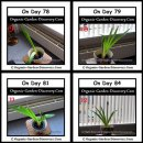 Natural growth of Amaryllis from day 78 to day 84.