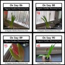 Amaryllis plant growing from the day 86 to day 90.