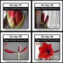 Growing Amaryllis from the day 91 to day 96.