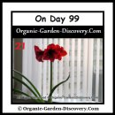 A group of 3 Amaryllis blossoms was shown on a 63.5cm tall stem on the day 99.