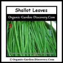 You can collect the shallots leaves for cooking before the shallot bulbs are fully form.