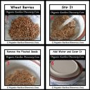 Growing sprouts from selected bio winter wheat seeds.