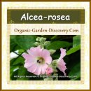 Two Althaea rosea in sweet pink