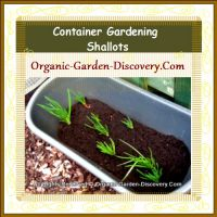 Our container planting shallots garden in mid-spring 2012.