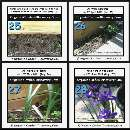 Growing organic Dutch Iris from day 1 to day 107