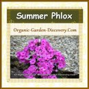 Summer phlox flowers in medium sized and in medium pink colour