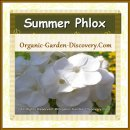 Summer phlox in white