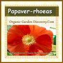 Single petal Papaver rhoeas in bright orange red colour