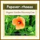 Papaver rhoeas in light orange