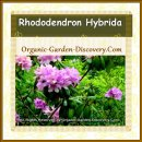 Dwarf Rhododendron plant produced purplish pink flowers