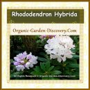 Rhododendron shrub is showing white and pale purple blossoms