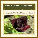 A Black Baccara rose is showing its beauty