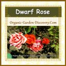 Dark and light pinkish orange garden roses
