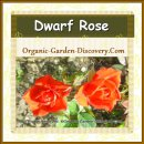 Two bright orange flowers from a dwarf rose plant