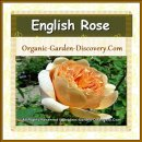Large rose flower in golden orange