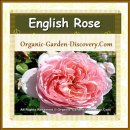 Wide opened pink English rose