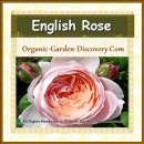 Large orange pink English rose is unfolding its petals