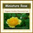 Miniature rose in yellow