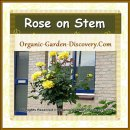 Yellow rose flowers on stem
