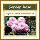 A group of pale pink garden rose