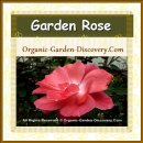 A medium sized sweet pink garden rose