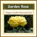 A beautiful large yellow Rose