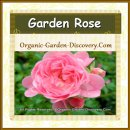 One small soft pink tea rose hybrid