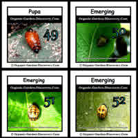 Different types of Ladybugs pupas are in the emerging progress
