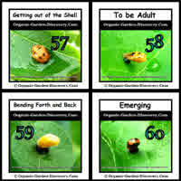 Almost ready Ladybugs are bending forth and back to remove their shells