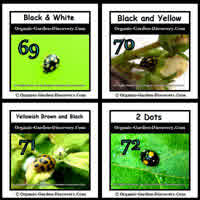 Adult Ladybirds in black and white; black and yellow; brownish yellow and black; and black with 2 orange dots