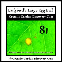 Ladybird first laid a big egg