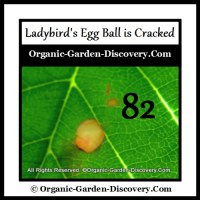 Lady bug's big egg is cracked