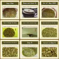 Sprouting mung beans from day one to day 5 and harvest on the day 6.