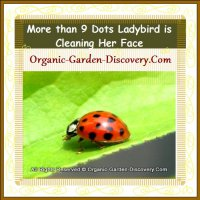 A more than 9 dots ladybird is cleaning its face.