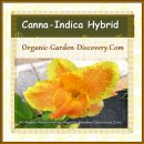 Organic grown mid-summer orange yellow red water Canna lily plant for ponds
