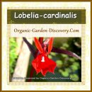 Red Lobelia cardinalis plant at home water with its rabbit a-like summer blossom
