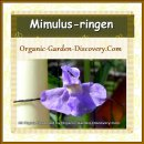 Monkey musk, Mimulus ringens flowering plant has soft bluish purple white little blossom in early summer
