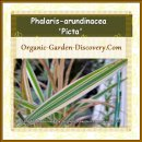 A pink green and white grass a-like pond garden plant, Striped gardener's garters