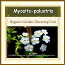 Mini baby soft blue water Forget-me-Not, Myosits-palustris is flowering