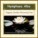 Wide opened Nymphaea Alba in Water