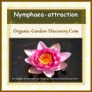 Nymphaea attraction is Smiling