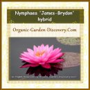 Nymphaea James Brydon in a quiet pond