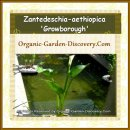 Zantedeschia aethiopica, Bog arum is grown organically with long white calla lily a-like flower opening in late spring