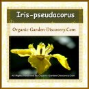 Organic tall yellow brown Water Iris pseudacorus flower is blooming in mid-spring